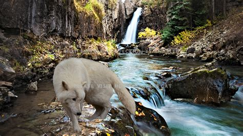 Waterfalls Wallpaper With Animals - white wolf nature waterfall animals