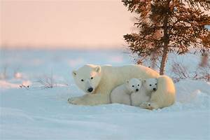 Polar Bear With Baby, HD Animals, 4k Wallpapers, Images ...