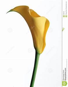 Calla Gelbe Blätter : gelbe calla lilie stockfoto bild von sch nheit kurve 2769704 ~ A.2002-acura-tl-radio.info Haus und Dekorationen