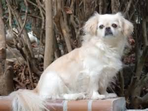 pekingese pomeranian mix shedding japanese chin temperament personality breeds picture