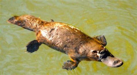morning monotreme marsupial arnold zwickys blog