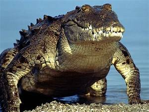 American Crocodile - Facts, Habitat and Pictures
