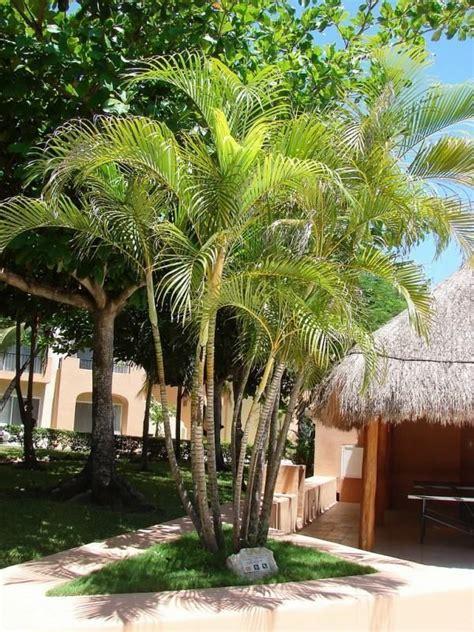 Palmeira Areca (Dypsis Lutescens) | Palmeiras interiores ...