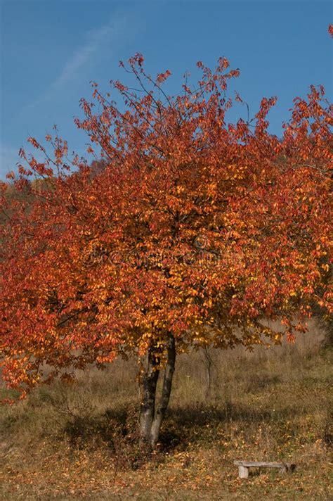 amaryllis treibt nur blätter herbstkirschbaum mit einsamer bank stockfoto bild bl 227 164 tter sch 227 182 n 11617728