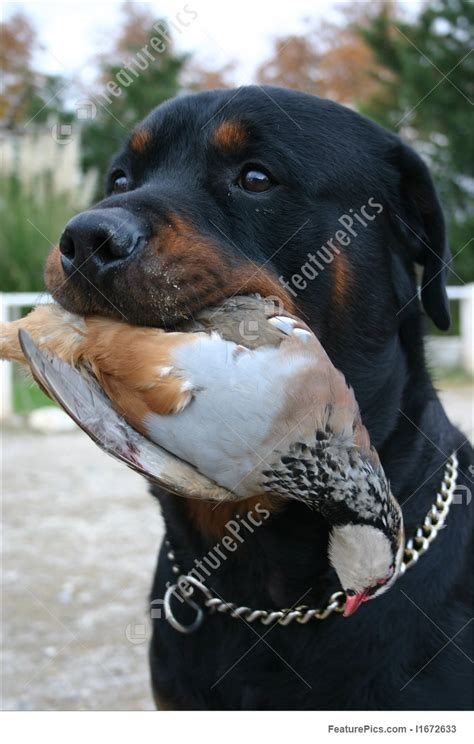 picture  hunting rottweiler