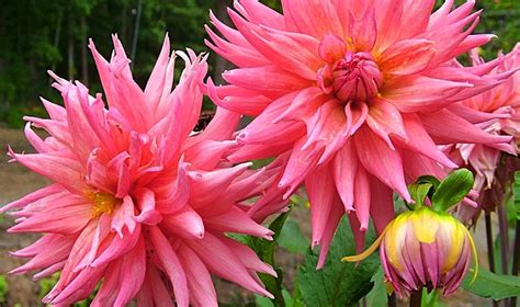 grow dahlia 17 best images about how to grow fabulous dahlias on pinterest