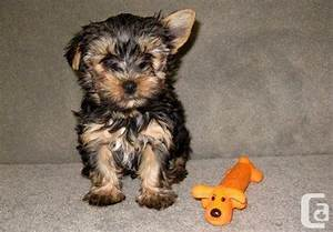 Brown Yorkie Puppies Pictures to Pin on Pinterest - PinsDaddy