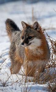 Grey Fox Animal