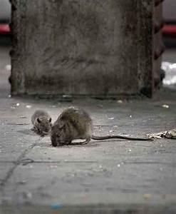 Was Fressen Ratten : der rattenf nger von z rich abfall juli 2009 nzz folio ~ One.caynefoto.club Haus und Dekorationen