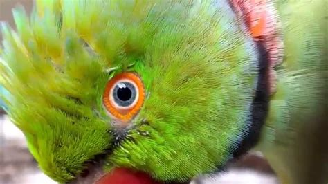 parrot eye pinning youtube