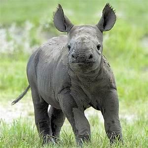 The Good Karma Kitchen: Western Black Rhino Officially ...