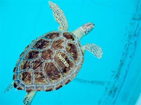 turtle florida keys hospital sea rescue release rehab visiting
