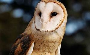 Barn Owl :: City of Edmonton