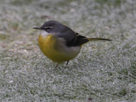 wagtail with yellow breast identify this wildlife