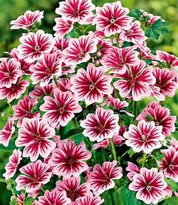 Blumen Winterhart Mehrjährig : stauden malve zebrina 1a stauden kaufen baldur garten ~ Whattoseeinmadrid.com Haus und Dekorationen