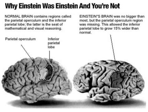 How Albert Einstein's Brain Differs From Yours  The Myth