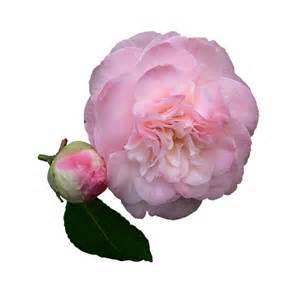 Rideau De Transparent Avec Poches by Illustration Gratuite Camelia Fleur P 233 Tales De Roses