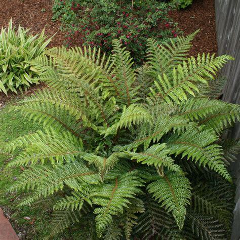 ferns in the garden ferns for every garden north coast gardening