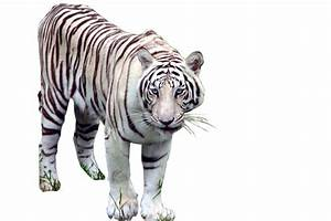 White Tiger Png
