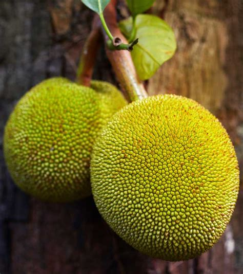 10 Amazing Benefits & Uses Of Breadfruit For Skin, Hair ...