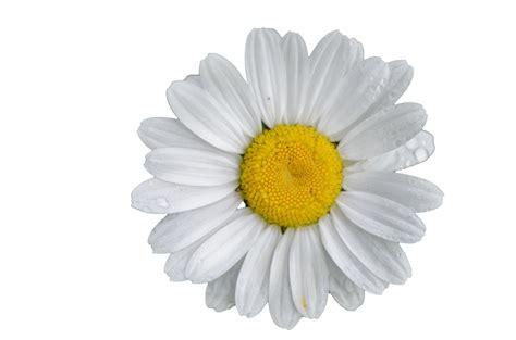 White Flower Background Flower White Background Free Stock Photo