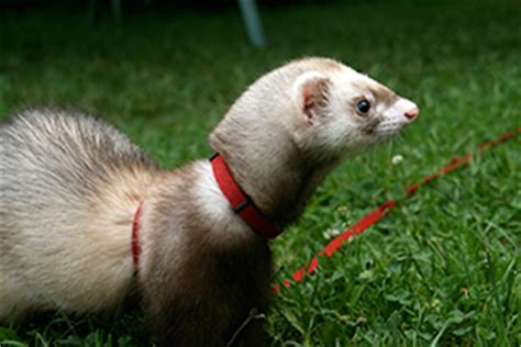 ferrets healthy pets healthy people cdc
