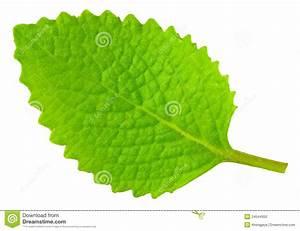 Green Oregano Leaf Isolated On White Stock Photo - Image ...