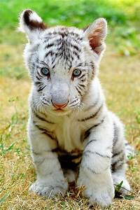 17 Best images about Tigers R US on Pinterest | Mothers ...