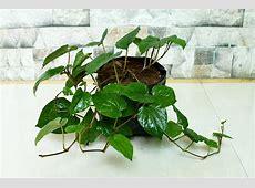 Betel Leaf Plant Rudraksha Ratna