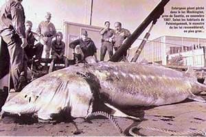 world's largest sturgeon caught - Bing Images | CRAWFORD ...