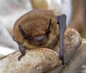 Species Of Uk  Week 59  Pipistrelle Bats   U0026 39 Pipistrellus U0026 39