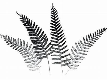 Fern Silver Drawings Line Ferns Clipart Draw