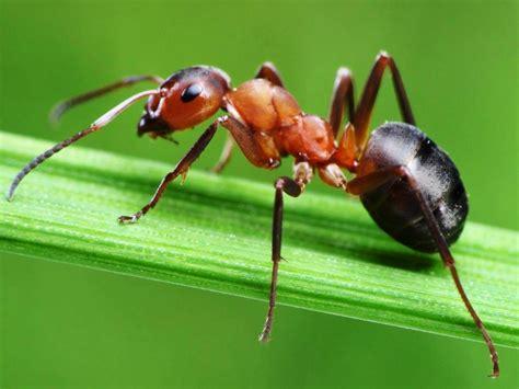 semut merah sang semut
