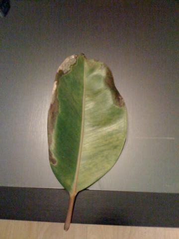 meine zimmerpflanze ficus elastica verliert alle blaetter