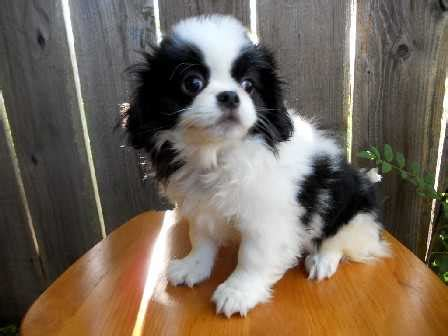 japanese chin  sale ads  classifieds