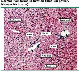 Liver Histology Labeled