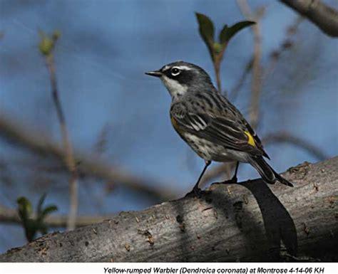 Backyard Bird Identification Warblers, Vireos
