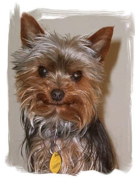 Miniature  Ee  Yorkshire Ee    Ee  Terrier Ee   Yorkie  Ee  Rescue Ee