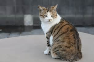 brown tabby cat file brown and white tabby cat with green hisashi 01