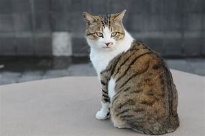 File:Brown and white tabby cat with green eyes-Hisashi-01 ...