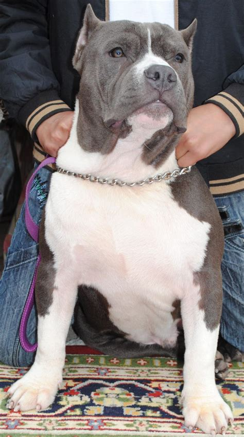pit bull dog for sale in delhi pit bull puppies for sale americanbullies 1 9315 dogs for sale price of puppies dogspot in