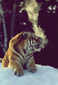 Tiger Pictures | Cute animal pictures and videos blog