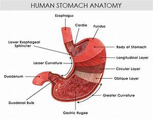 Understanding The Human Stomach Anatomy With Labeled Diagrams