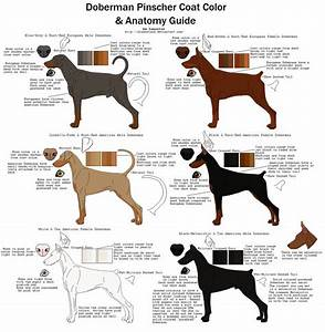 Doberman Pinscher Coat Color And Anatomy Guide By
