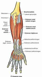 Muscles Of Wrist  Thumb And Fingers
