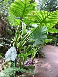 Grande Plante Verte D Intérieur : plante verte grande feuille plante interieur exotique maison retraite champfleuri ~ Voncanada.com Idées de Décoration