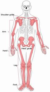 Musculoskeletal System - Pelvis Development