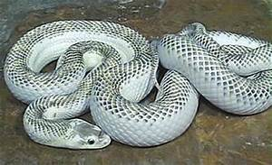 Dangerous of Wild Animals: Black Spotted White Cobra ...