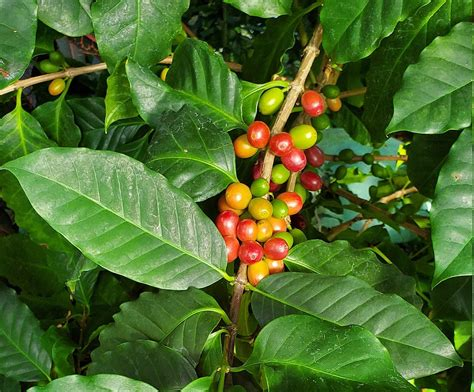 Plant care best growing conditions olive tree varieties. How to Grow Coffee Beans at Home - Coffee Informer in 2020 | Coffee bean tree, Growing coffee ...