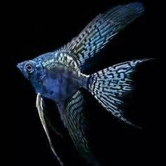 pictures of freshwater angelfish